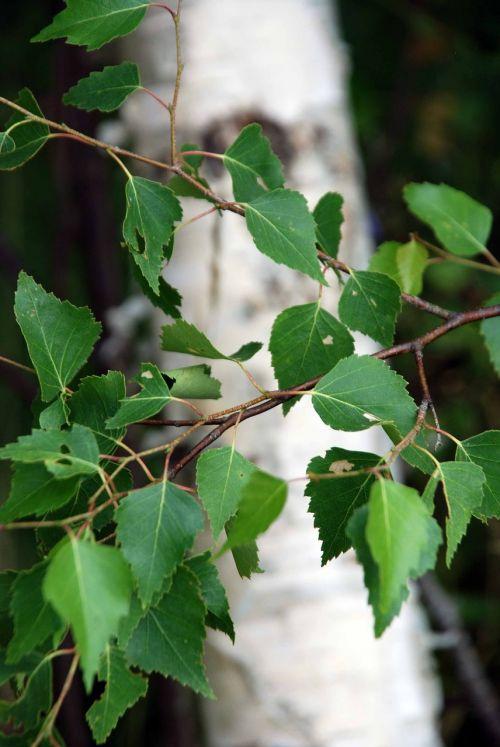 birch sommarbjörk hardwood