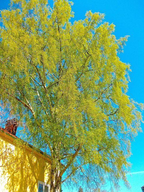 birch tree blue sky