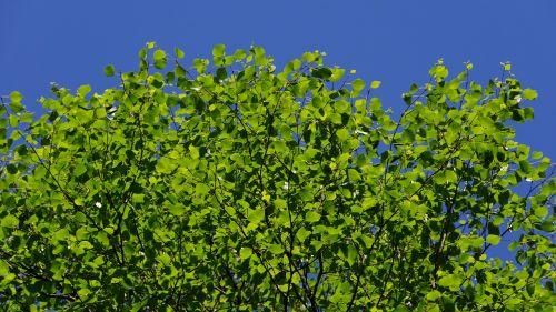 birch summer midsummer tree