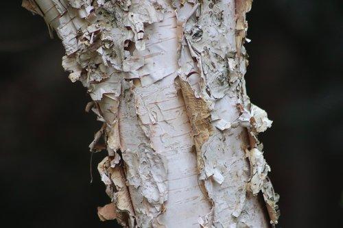 birch  schälbirke  birch bark