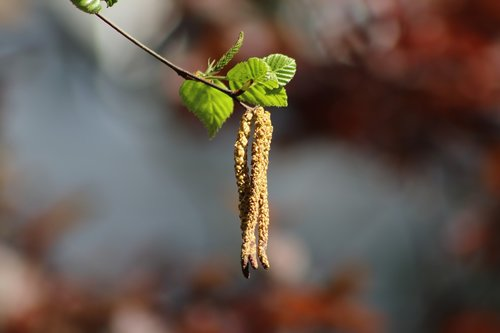birch  leaves  birch catkins