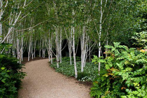 birch trees white