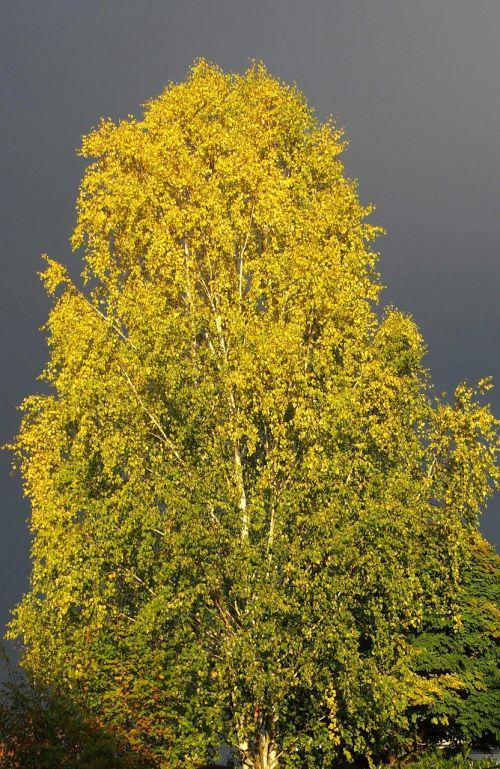 birch tree thunderstorm
