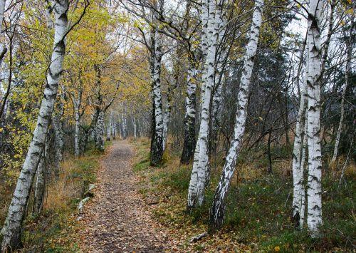 beržas,toli,gamta,žygiai,takas,miškas,ruduo,gamtos takas,juostos,Promenada,miško takas,gamtos rezervatas,alėja,beržo miškas