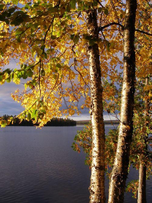 birch yellow birch yellow
