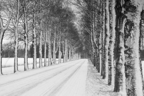 witer birch alley birch