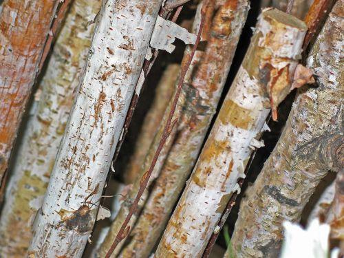 birch branches birch trees