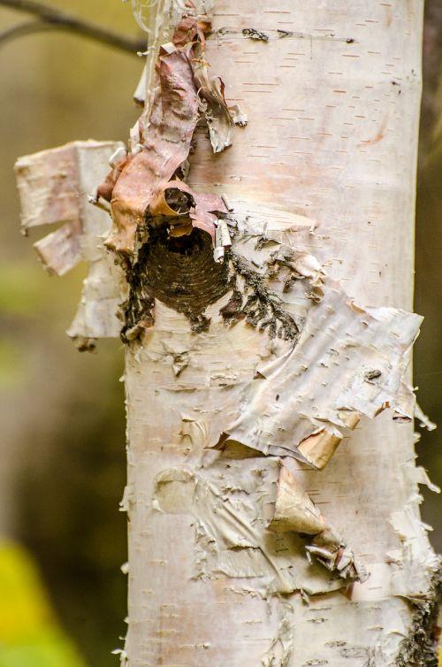 birch tree bark peeling bark