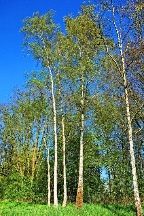 birch tree  birch  tree