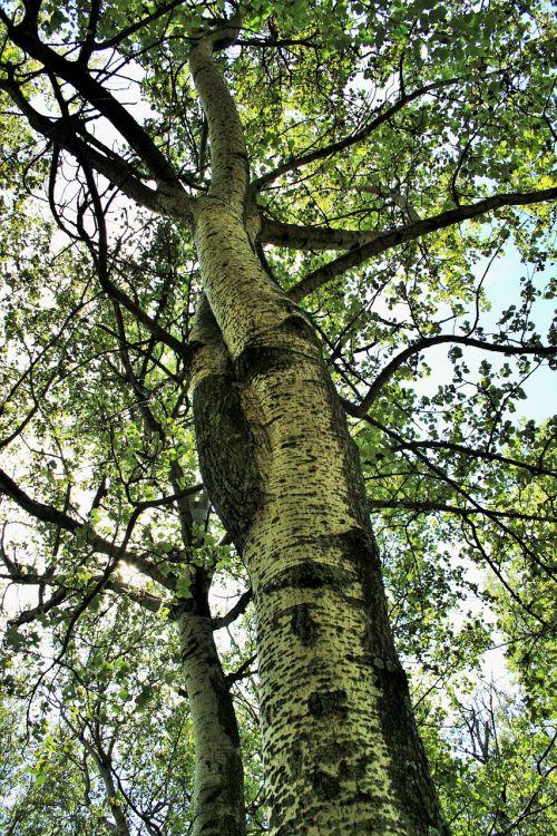 birch tree trees birch