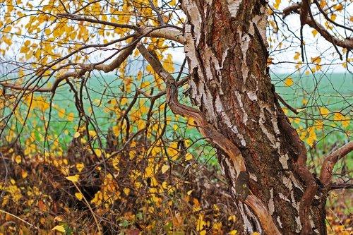 birch tree  birch  autumn