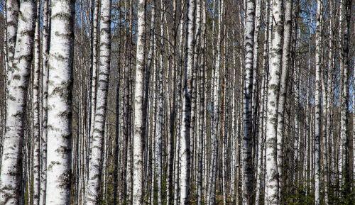 birch trees birch trunks birch forest