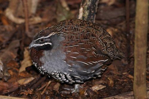 bird madagascar perlwachtel chicken