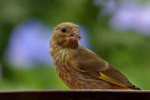 bird greenfinch young