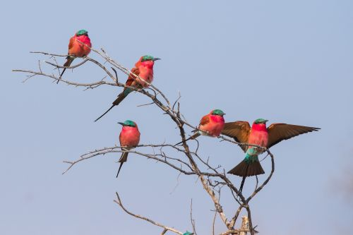 bird crimson crimson bee-eater