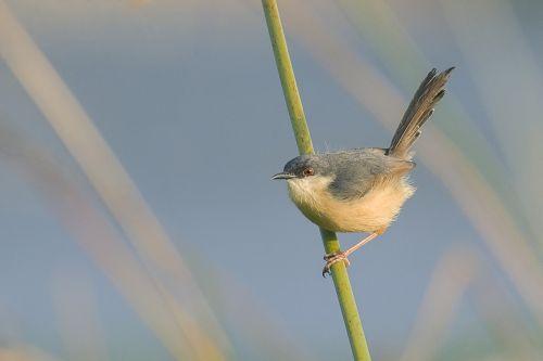 bird ashy prinia