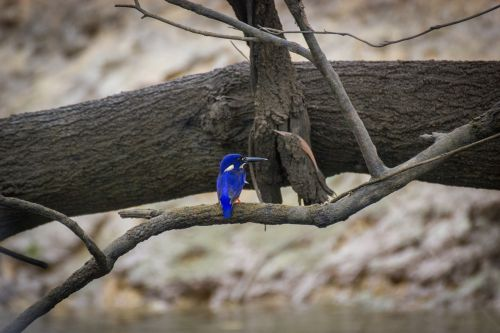 azure kingfisher bird river