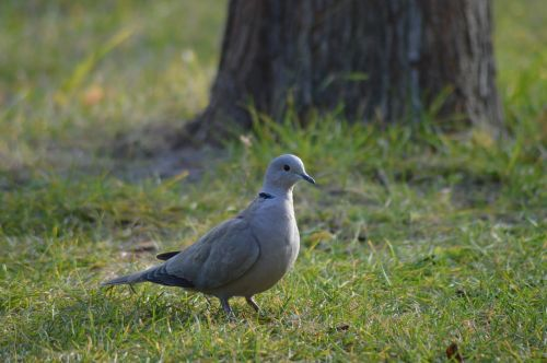 dove bird garden