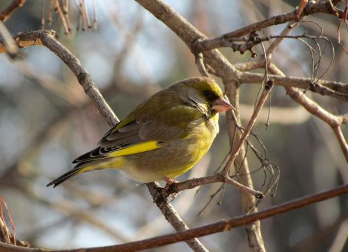 bird periwinkle passerine