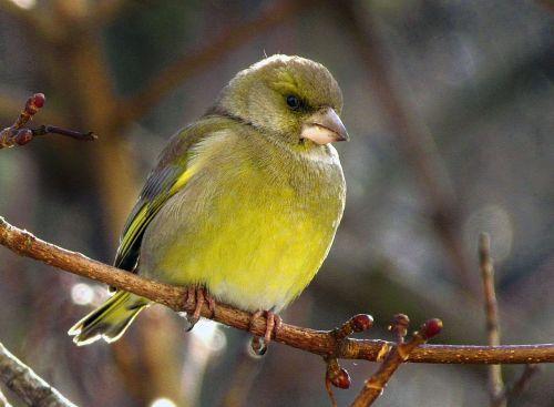 bird passerine periwinkle