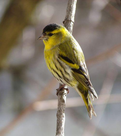 bird passerine eurasian siskin