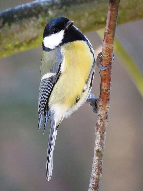 bird tit garden