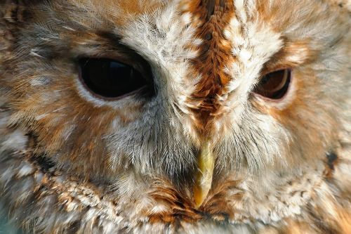 bird owl hunter