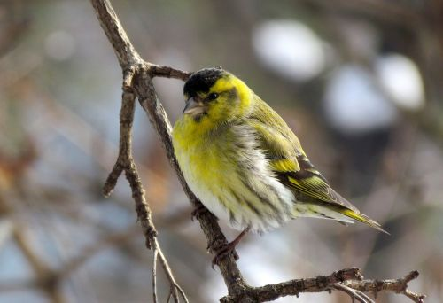 bird eurasian siskin male