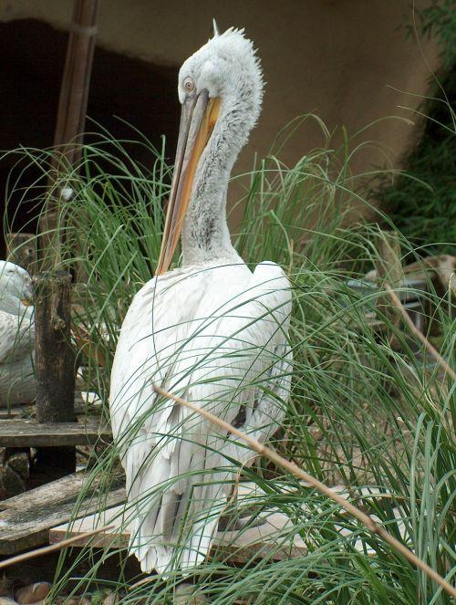 bird pelican animal