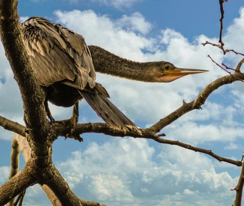 bird anhinga snakebird