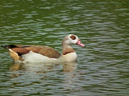 bird water pond