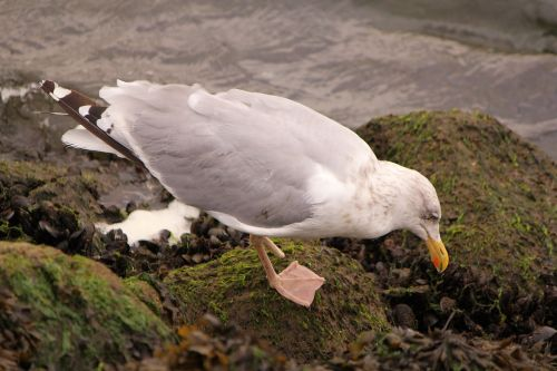 bird seagull foraging