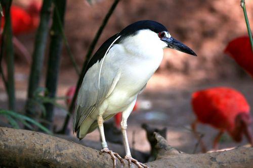bird tropical striated heron