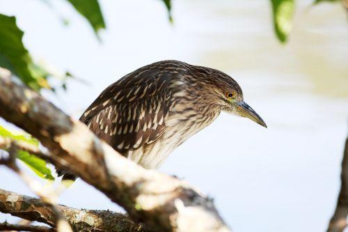 bird striated heron fish eater