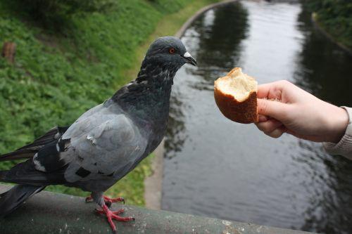 bird dove feed