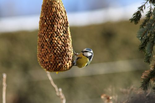 bird blue tit tit