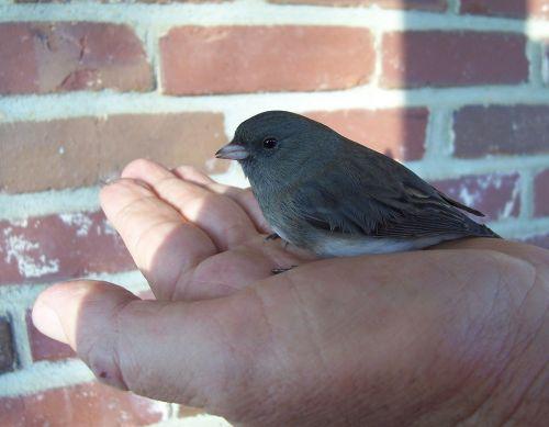 bird finch hand