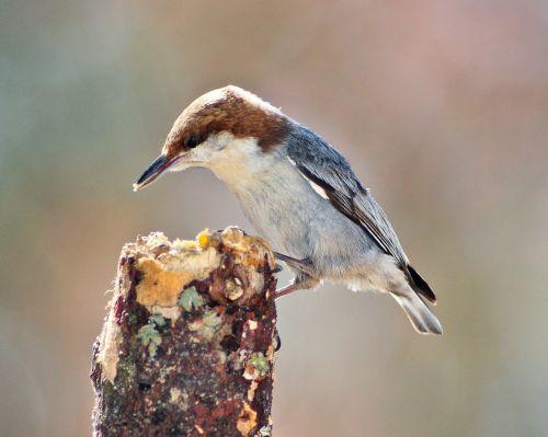 bird nuthatch brown-headed nuthatch