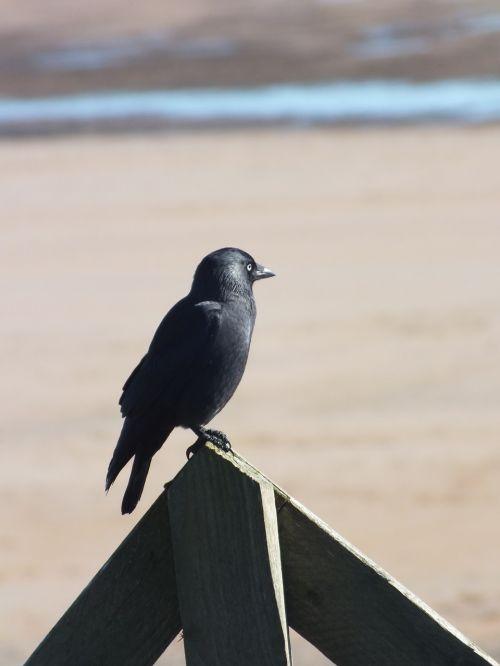 crow bird black