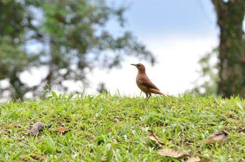 bird brazilian bird nature