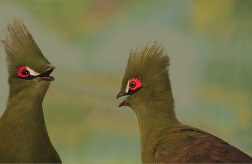 bird touraco senegal