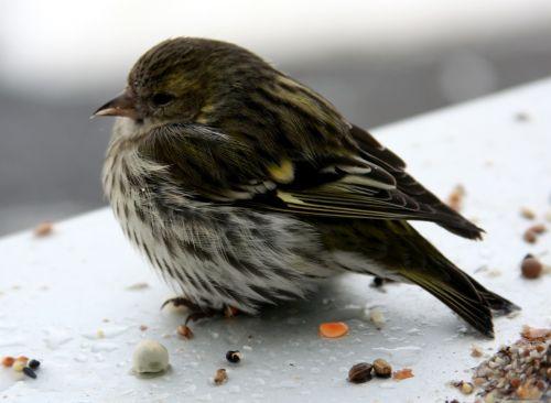 bird siskins female