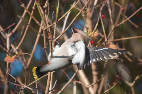 bohemian waxwing bird nature
