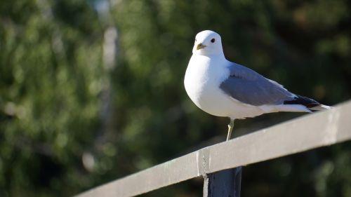 bird mew larus canus