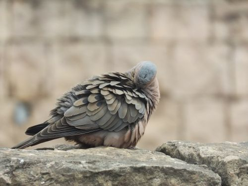 bird,paloma,animal,animals,nature,wings,feathers,portrait,tortola,fauna,ave,natural,stone,rest