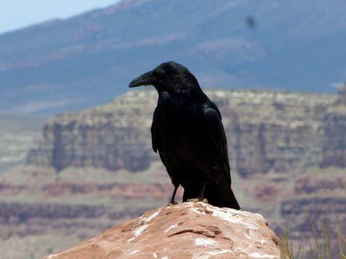 bird raven crow