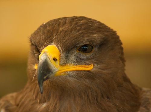 bird falcon steppe