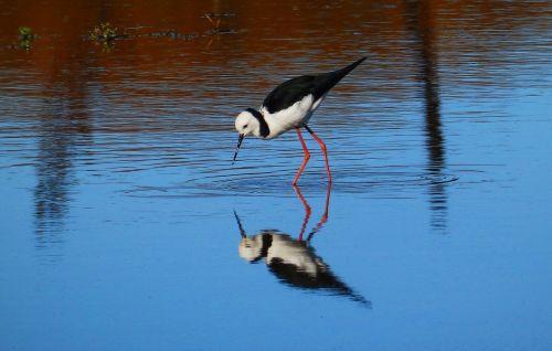 paukštis,amp laivyba,vandens paukštis,gamta,laukiniai paukščiai,šlapynes