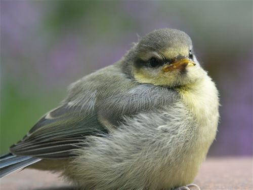 bird blue tit young bird