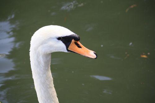 bird swan close